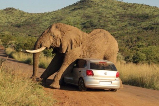 image23 Elefante se rasca con un carro   Fotos