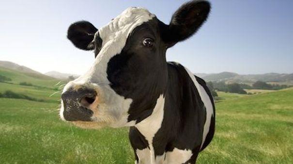 Mujer-roba-vaca