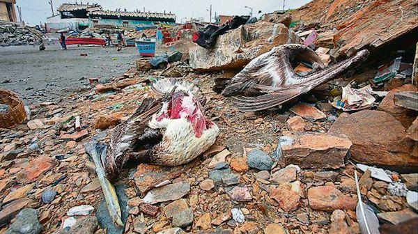 pelicano Vendían carne de pelícano como si fuera de pollo [Perú]