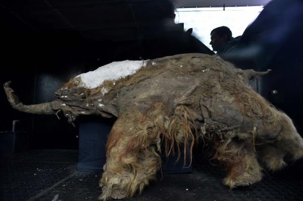 mamutenrusia1afp Foto   Mamut de 39.000 años se exhibe en Rusia