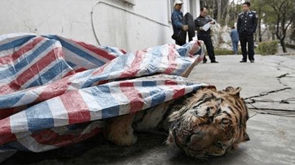0012025747 Millonario chino electrocutaba tigres y los servía en banquetes