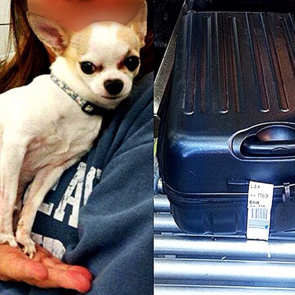 10358413 941940212506599 1217037952 n Chihuahua en maleta [foto]