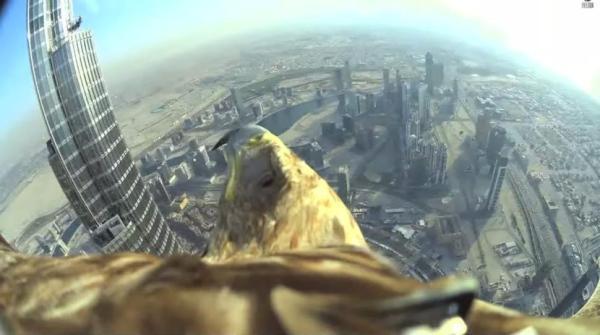 eagle17n 2 web Video: águila halla a su dueño desde 800 metros de altura