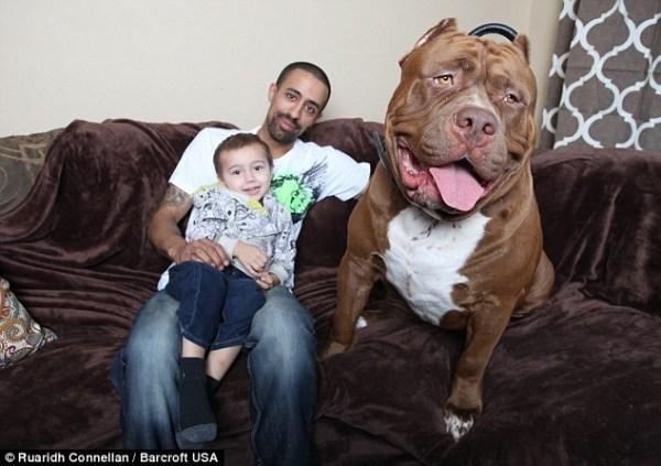 image57 Otras fotos de Hulk, el Pitbull más grande