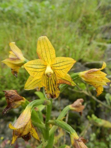 Chloraea-undulata