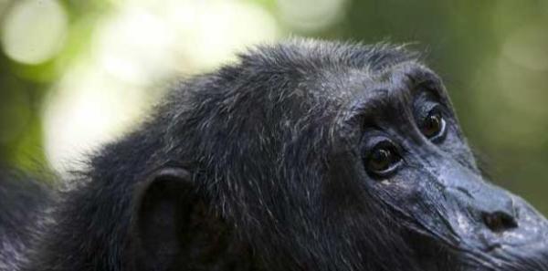 crop_chimps-5