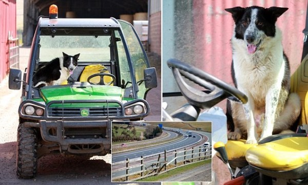image451 Perro ovejero maneja tractor