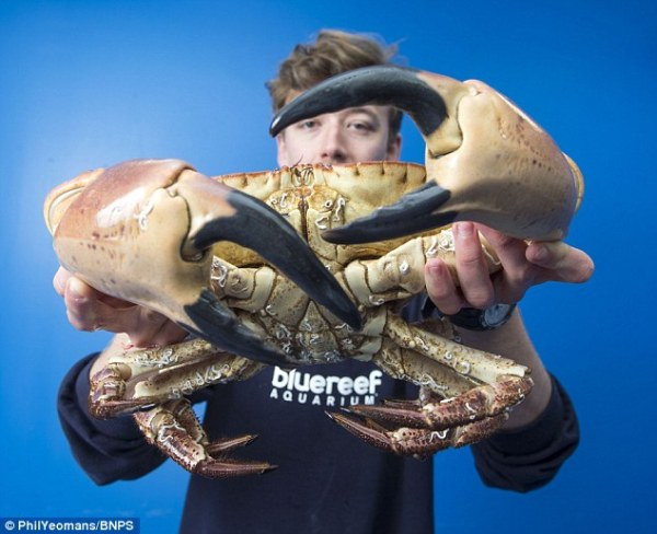 288C5F7200000578-0-Aquarist_Martyn_Chandler_carefully_handles_the_mammoth_crab_brou-m-26_1431341874391