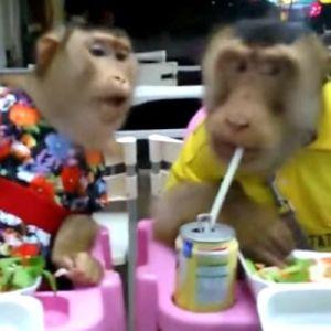 normal Una pareja de monos cenando #Normal