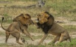 2AFFFF2300000578-0-Cecil_the_lion_s_brother_has_been_shot_dead_in_a_park_in_Zimbabw-m-2_1438451636779
