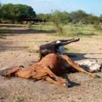 asequia-vacas