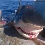 tiburon comia otro Cazan tiburonazo cuando estaba «jartándose» a otro [Australia]