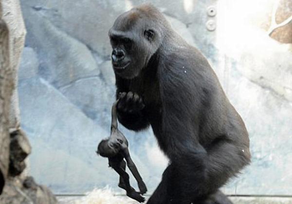 gorila-shila