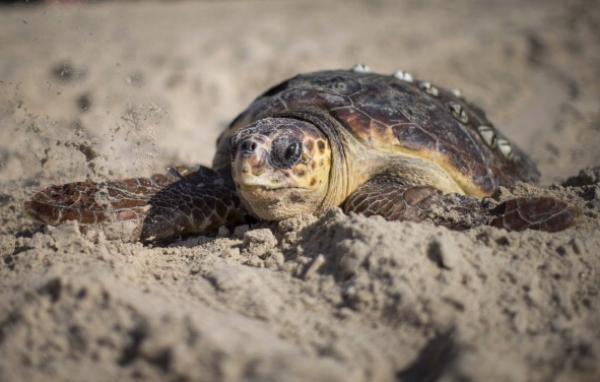 tortugas-marinas