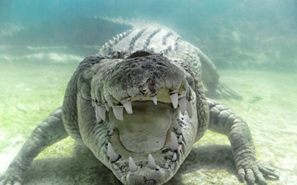 vaina-curiosa-en-los-cocodrilos-estudio