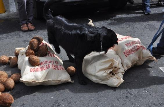 narco cocos FOTO – Incautan droga en contenedor cargado de cocos