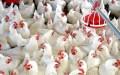 pollo cane blanca 685x429 Diciembre: Mes en que más carne blanca se come (RD)