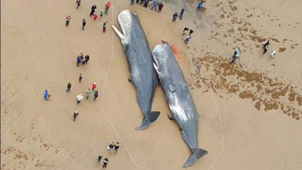 ballenas Dos ballenas gigantes quedan varadas