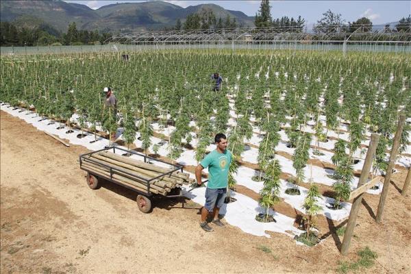 cannabis Foto   Chequeen la mayor plantación legal de marihuana de América Latina