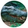 cocodrilo-chiquito