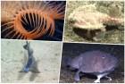 collage criaturas fondo mar Fotos –13 criaturas rarísimas del fondo del mar