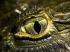 cocodrilo-ojo