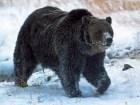 oso-scarface