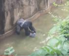kid in gorilla cage cincinnati No cargos para madre del niño que cayó en jaula del gorila