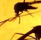 mayaro República Dominicana vigila al virus mayaro