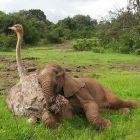 Avestruz adopta a elefante bebé (Kenia)