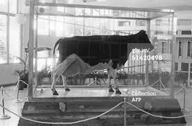 ubremomia La super vaca de Fidel Castro