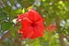 flor-sangre-de-cristo