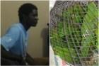 haitiano pericos Trancan haitiano capturó 36 pericos en Bahoruco