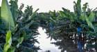rd9 Las lluvias habrían afectado 400,000 tareas, según ANPA