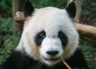 oso panda Descubren una vaina sobre el oso panda