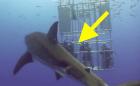 tiburon Video – Tiburón se hace 'pupú' sobre unos buzos