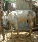 burro Burro se quilla y le entra a mordía a su dueño