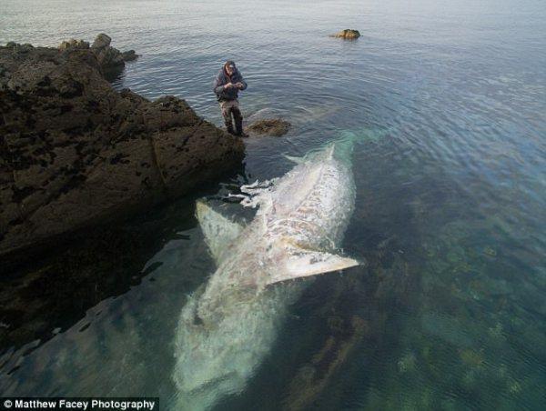 tiburc3b3n Monstruo de 25 pies; tiburón muerto flotando boca arriba