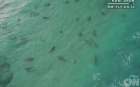 california Un reguero de tiburones blancos en California (video)