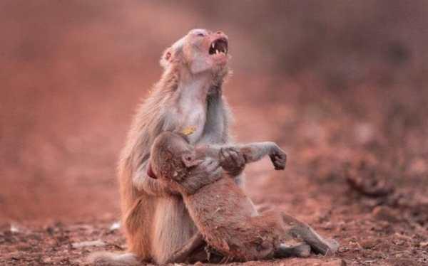 mono El griterío de una madre mono cuando su hijo colapsa