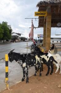 El famoso 'Chivo sin Ley' en Montecristi