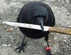 Canuck 300x230 El agresivo cuervo que pone en para a un barrio en Canadá