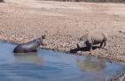 Hipopótamo 300x196 Video   Hipopótamo se emburuja con rinoceronte y lo mata