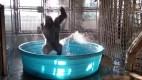 Zola 300x169 Video   Gorila bailando en piscina se vuelve viral