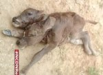 becerro 150x109 Video: Nació un becerro con dos cabezas en Villa Riva