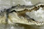 cocodrilo 150x100 Desaparece tipo que intentó violar a un cocodrilo en Australia