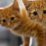 gatos 150x150 Al menos 500 gatos se salvaron de ser almorzados en China