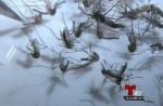 mosquitos 150x98 Detectan mosquitos con el virus del Nilo en NY