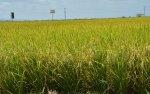 ruta turistica de arroz 5 150x94 Conoce la Ruta Turística del Arroz