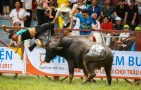 Búfalos 300x192 Video   Ponen a pelear búfalos; uno mata al dueño